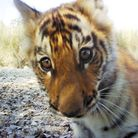 Nepal Bengal Tiger in a ZSL Camera Trap