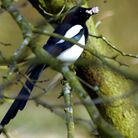 Magpies are just one of the birds that can be seen in Hackney. Picture: MICHAEL SMITH/IWITNESS