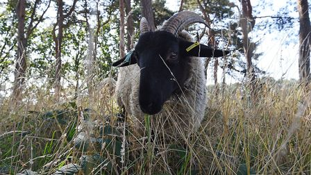 A Norfolk Horn sheep on Hampstead Heath in London, after sheep were returned for the first time sinc