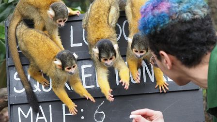 Squirrel monkeys at London Zoo, ready for the annual stocktake. Picture: ZSL/TonyMargiocchi