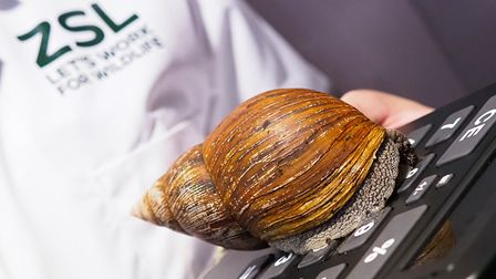 Giant African snail. Picture: ZSL/TonyMargiocchi