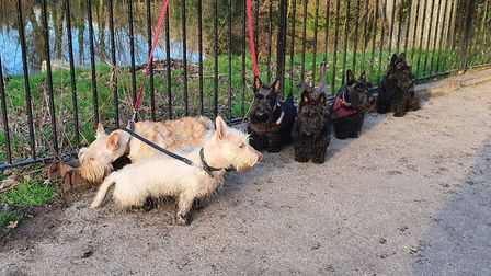 They come in groups of six! Scottie dogs on Hampstead Heath. Picture: London Scottie Club