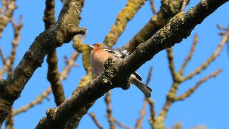 Chaffinches are regularly spotted in Hampstead Heath. Picture: The City of London Corporation