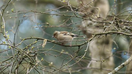 A female chaffinch sighted in the Heath's south meadow. Picture: The City of London Corporation