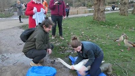 A cygnet being rescued by volunteers on Hampstead Heath. Picture: RON VESTER