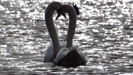 New pair of swans at Hampstead Heath's Model Boating Pond. Picture: RON VESTER