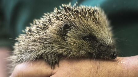 A hedgehog. Picture: PA / Ben Birchall