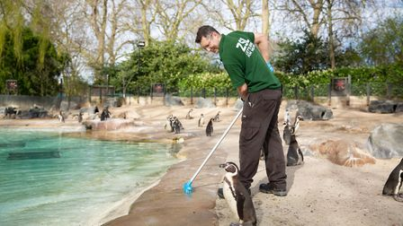Zookeeper Martin Franklin cleans the penguin beach at London Zoo