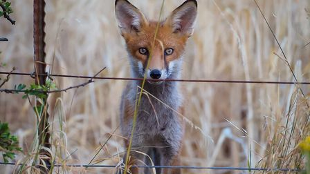 This wonderful picture capturing a young fox has been named as The Journal's Picture of the Week. Ph