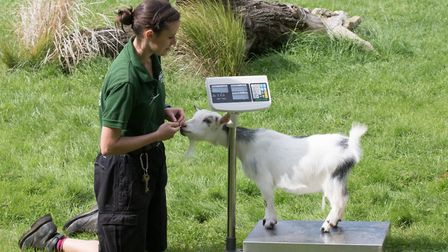 A goat at the annual weigh in at London Zoo. Picture: Richard Hutchinson