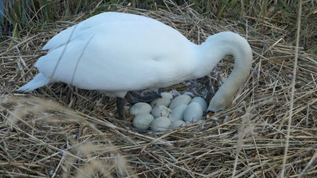 The swans will now protect their eggs over the spring. Picture: Ron Vester