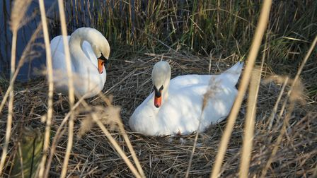 The new swan parents on the Heath. Picture: Ron Vester