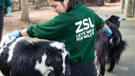Keepers at London Zoo care for the Pygmy Goats during lockdown. Picture: London Zoo