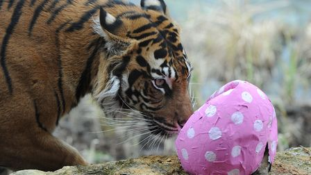 Melati, London Zoo's female Sumatran tiger plays with an Easter egg which contains a dead rabbit in