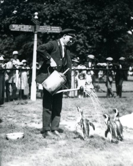 Keeper, Ernie Sceales, gives three penguins a shower from a watering can. London Zoo 1919.