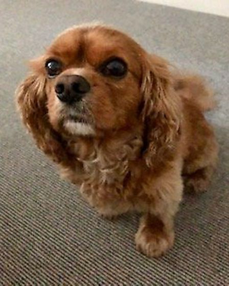 Paddy the dog will be providing pet therapy for Homerton Hospital staff. Picture: Emma Higgins
