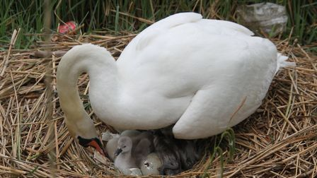 10 cygnets have hatched on Hampstead No. 1 Pond. Picture: Ron Vester
