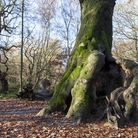 Hampstead Heath's Hollow Beech, where children and adults climb. Picture: Paul Wood
