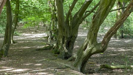 Twisted ancient trees on the wood bank in Coldfall Wood. Picture: Paul Wood