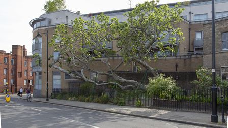 An enormous fig tree in Amwell Street, Islington. Picture: Paul Wood