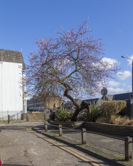 An almond tree near Paul Wood's home in Finsbury Park. Picture: Paul Wood