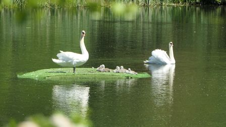 Swans on a new raft in the Hampstead No. 1 Pond on Hampstead Heath Could the pandemic actually be he