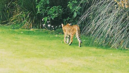 """The Savannah cat looked """"harmless"""" to Highgate resident Ivona Stankeviciute as it wandered through h"""
