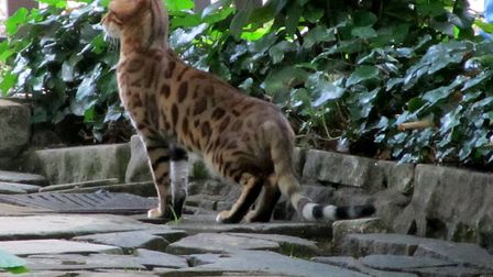 A previously spotted Savannah cat in Highgate. Picture: Will Newcomb.