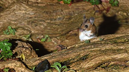 Bob got huge pleasure from spotting a wood mouse in his garden like this one captured by John Smith