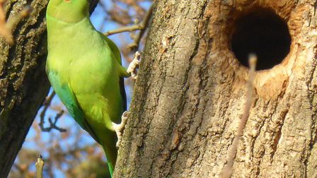 One of three Green Parakeets seen regularly in South Park Ilford .