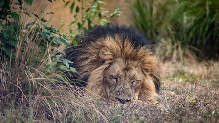 A lion rests in an enclosure at ZSL London Zoo, now reopened to the public. Picture: Aaron Chown/PA