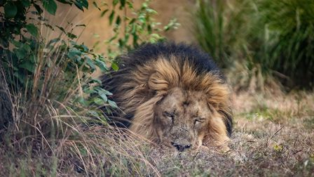 A lion rests at ZSL London Zoo, which reopened its doors to visitors this week. Picture: Aaron Chown