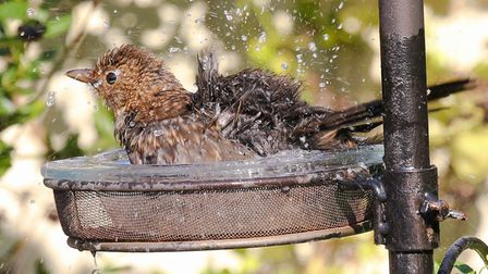 This clever bird keeping cool during the heatwave has won The Jounral's Picture of the Week. Photo: