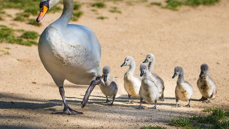 """""""One step at a time� - swan with two week old cygnets at South End Green. Picture: Copyright of Davi"""
