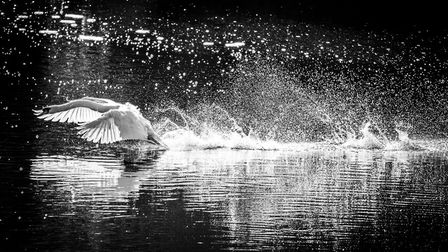 Angry swan chasing off Egyptian Geese in territorial dispute - South End Green. Picture: Copyright o