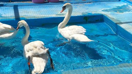 Injured swan Mrs Newbie recovering (right) after being attacked on Hampstead Heath. Picture: Swan Sa