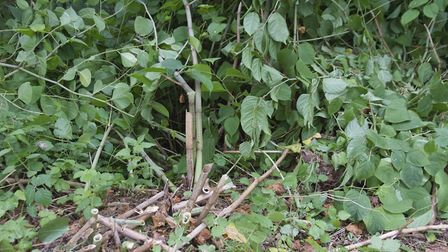 Japanese Knotweed. Picture: PA Photo/thinkstockphotos