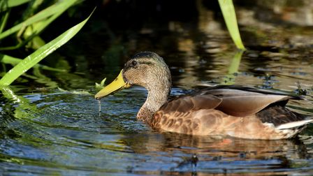 A duck feeds near Camley Street. Picture: Polly Hancock