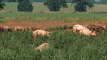 Pigs run free for Meat N16 Butcher and Delicatessan