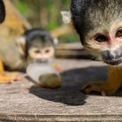 Bolivian black-capped squirrel monkeys in the autumn sunshine ahead of their starring role in ITV4's