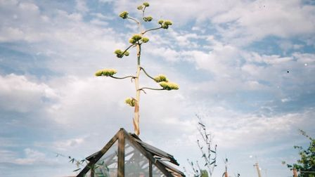 The agave atrovirens plant grown by Graham Griffin in Long Road, Lowestoft. Picture: GRAHAM GRIFFIN