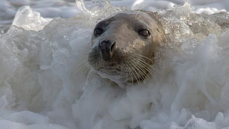 This stunning shot of a seal at Horsey Beach has been crowned Picture of the Week. Photo: Richard To
