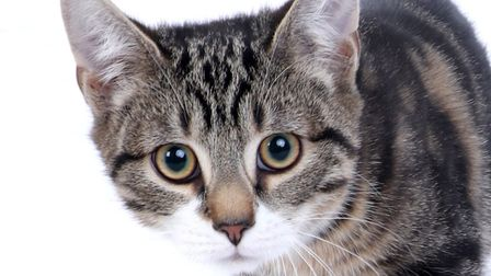 Nugget previously came second in the Pets on Parade cats competition. Picture: Picture Studios