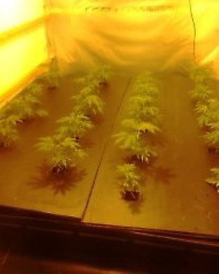 Police seized 163 cannabis plants from a hous in Victoria Road