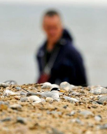 RSPB staff and volunteers have been working hard to protect the wellbeing of the regions little tern
