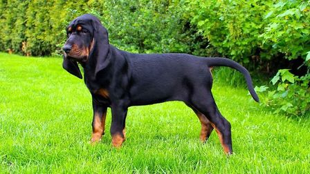 Dotty will be shown at Crufts next month. Picture: Covehithe Coonhounds