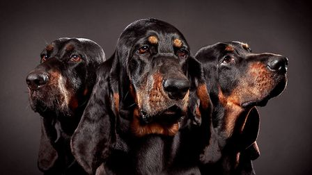 A litter of ten puppies bred at Covehithe Coonhounds has produced four crufts qualifiers and three s