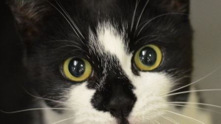 A cat was stolen on Christmas Day (model used for pic)