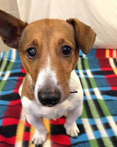Roman is a Jack Russell and Bassett mixed eight-year-old.