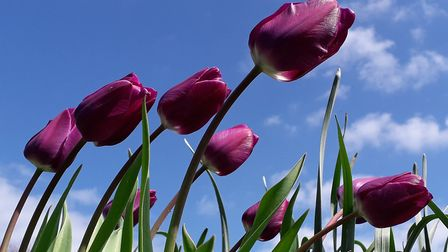 Brightly-coloured tulips dancing in the breeze has been named the Lowestoft Journal's Picture of the